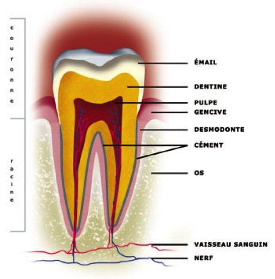 Qu'est ce que la dentine