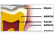 Comment est constituée une dent